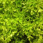 Vibrational Greens Parsley