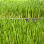 Vibrational Greens Wheatgrass